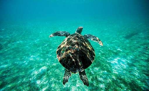 Green Turtle in the Maldives. © Paul Hilton