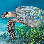 Hawksbill Turtle in Komodo National Park