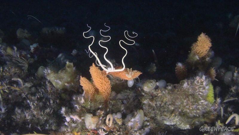 Snake Star on sea floor, Hope Bay, Trinity Peninsula, Antarctica.