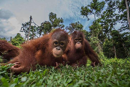 Geschätzt wird, dass es heute noch zwischen 70.000 und 100.000 Orang-Utans gibt. Zur Jahrtausendwende waren es noch etwa 150.000 mehr. Der Schwund ist eine Folge der Gier nach Palmöl, für dessen Anbau Lebensräume zerstört werden.