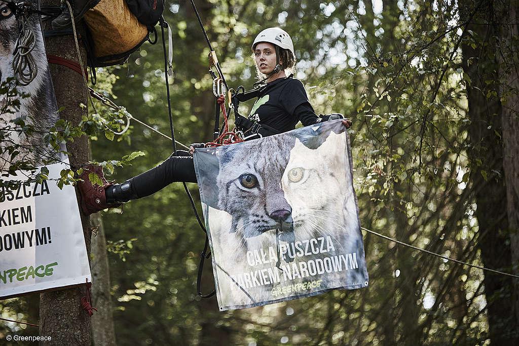 Plus de 70 militants de 12 pays européens ont bloqué des machines lourdes qui coupaient des forêts anciennes dans la zone protégée par l'UNESCO de la forêt de Białowieża en Pologne.