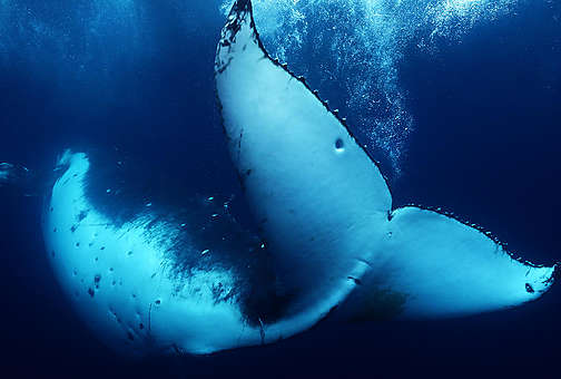 Humpback Whale in Tonga. © Paul Hilton