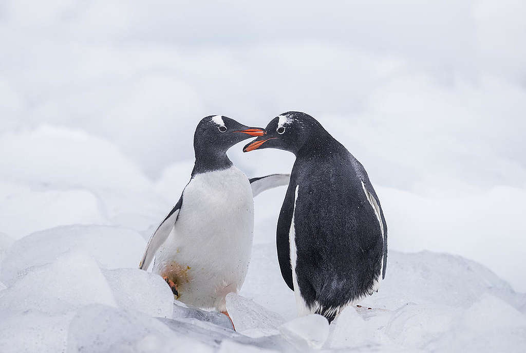 Gentoo Penguins in the Antarctic. © Paul Hilton