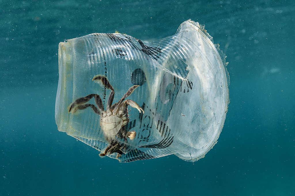 Un crabe piégé dans une gobelet de la marque 'Zagu Milktea' dans le Passage de l'Île Verte.