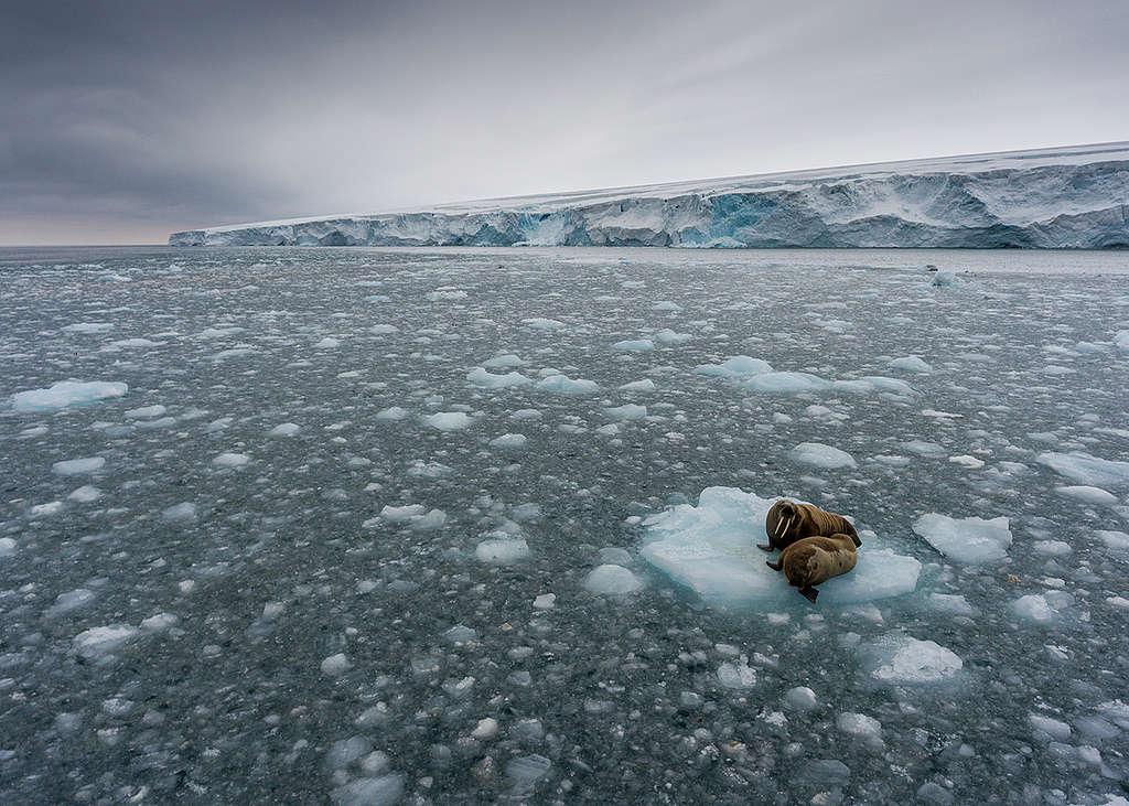 Morses sur banquise à Kvitøya à Svalbard