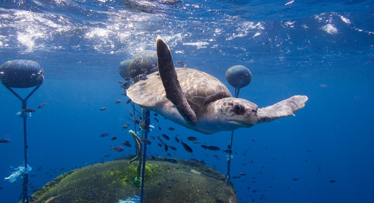 Une tortue caouanne nage autour d'un dispositif de concentration de poissons, à proximité des îles Galapagos du nord. © Alex Hofford / Greenpeace