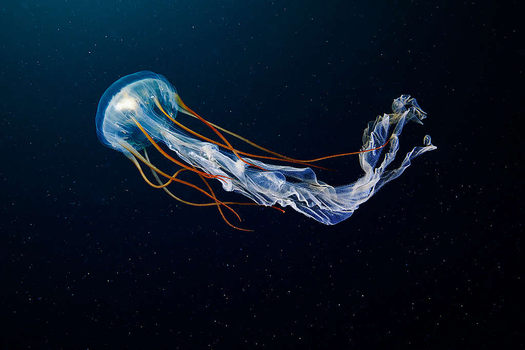 Méduse scyphozoaire, vivant dans les eaux profondes de l'Arctique.