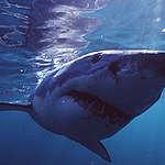 Großer weißer Hai (Carcharodon carcharias).