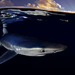 Blauer Hai Nahe der Azoren