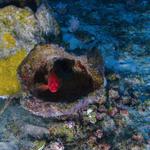 فرصتنا الأخيرة لحماية الشعاب المرجانية في الأمازون