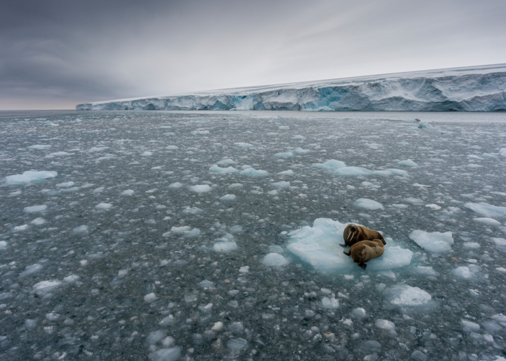 Morsas flotando en un pedazo de hielo © Christian Åslund / Greenpeace