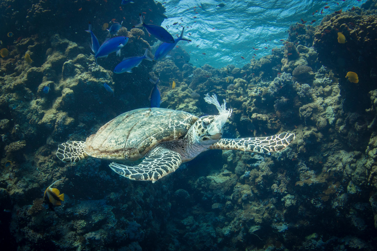 Hawksbill Turtle Feeding on Plastic in the Red Sea. © Saeed Rashid