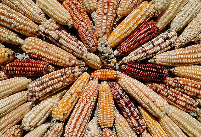 Landraces varieties of Mexican maize. Oaxaca, Mexico. © Roberto Lopez