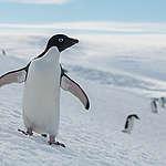 Pingüino Adelaida © Christian Åslund