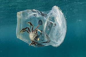 Cangrejo atrapado en vaso plástico © Noel Guevara / Greenpeace