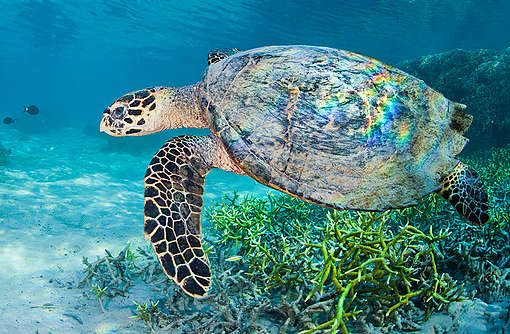 Hawksbill Turtle in Komodo National Park. © Paul Hilton / Greenpeace