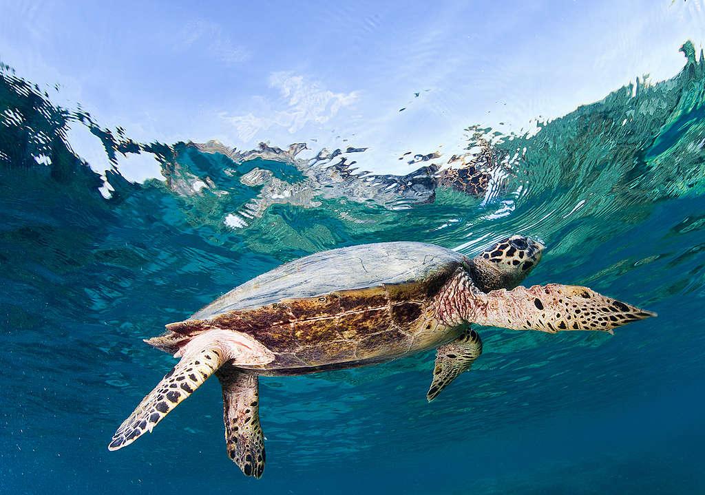 Tortugas marinas en Indonesia © Paul Hilton / Greenpeace