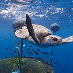Turtle and FAD in East Pacific Ocean. © Alex Hofford / Greenpeace