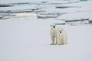 Polar Bears in the Arctic. © Daniel Beltrá / Greenpeace