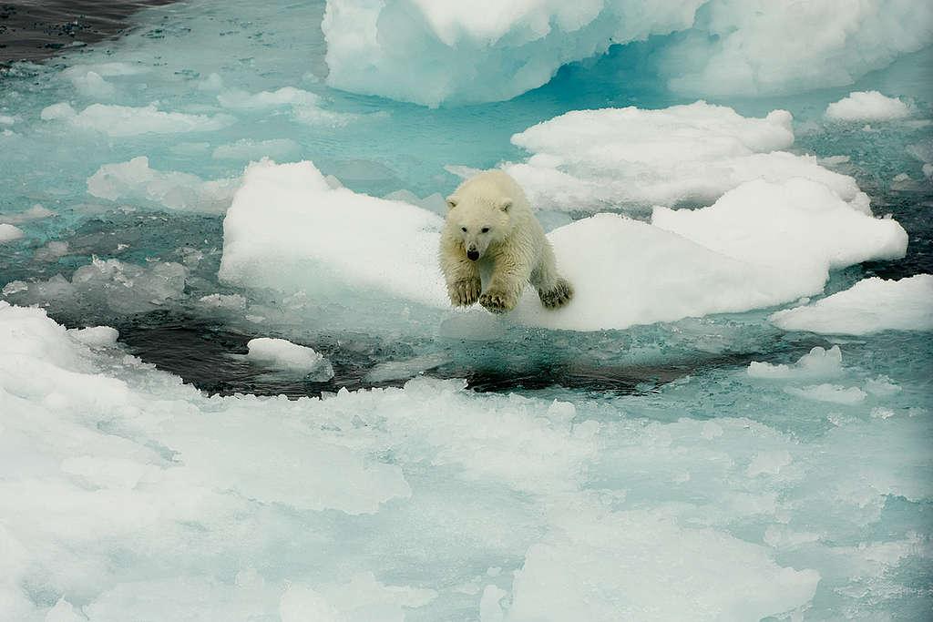 Oso polar en el hielo derritiéndose © Larissa Beumer / Greenpeace