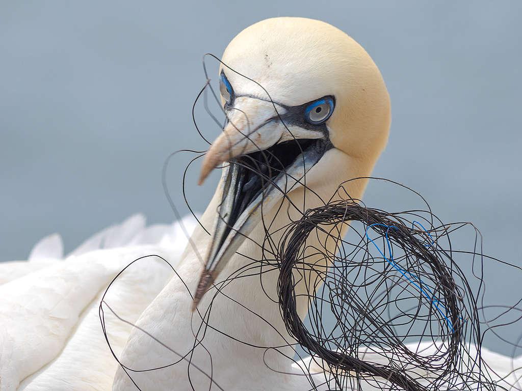 Aves con basura plástica © Wolf Wichmann / Greenpeace
