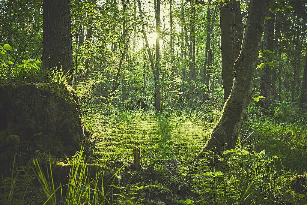 Acciones por los bosques © Greenpeace