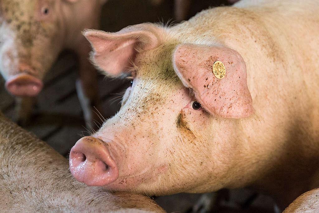Cerdo en granja porcícola