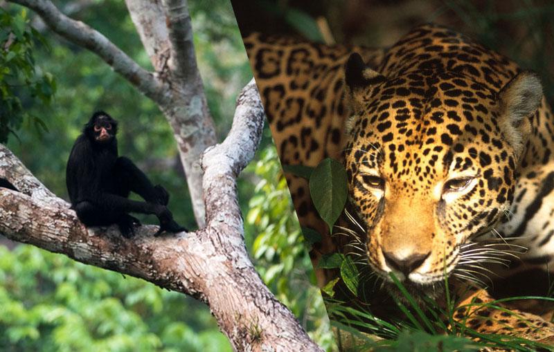 Jaguar y mono araña en peligro por la deforestación