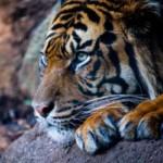 Multinationalsvernietigen Indonesisch regenwoud, ondanks beloften