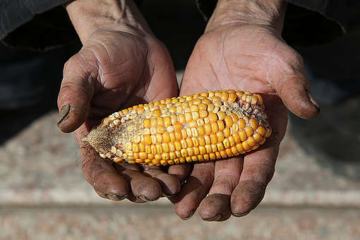 Undersized Corn in China
