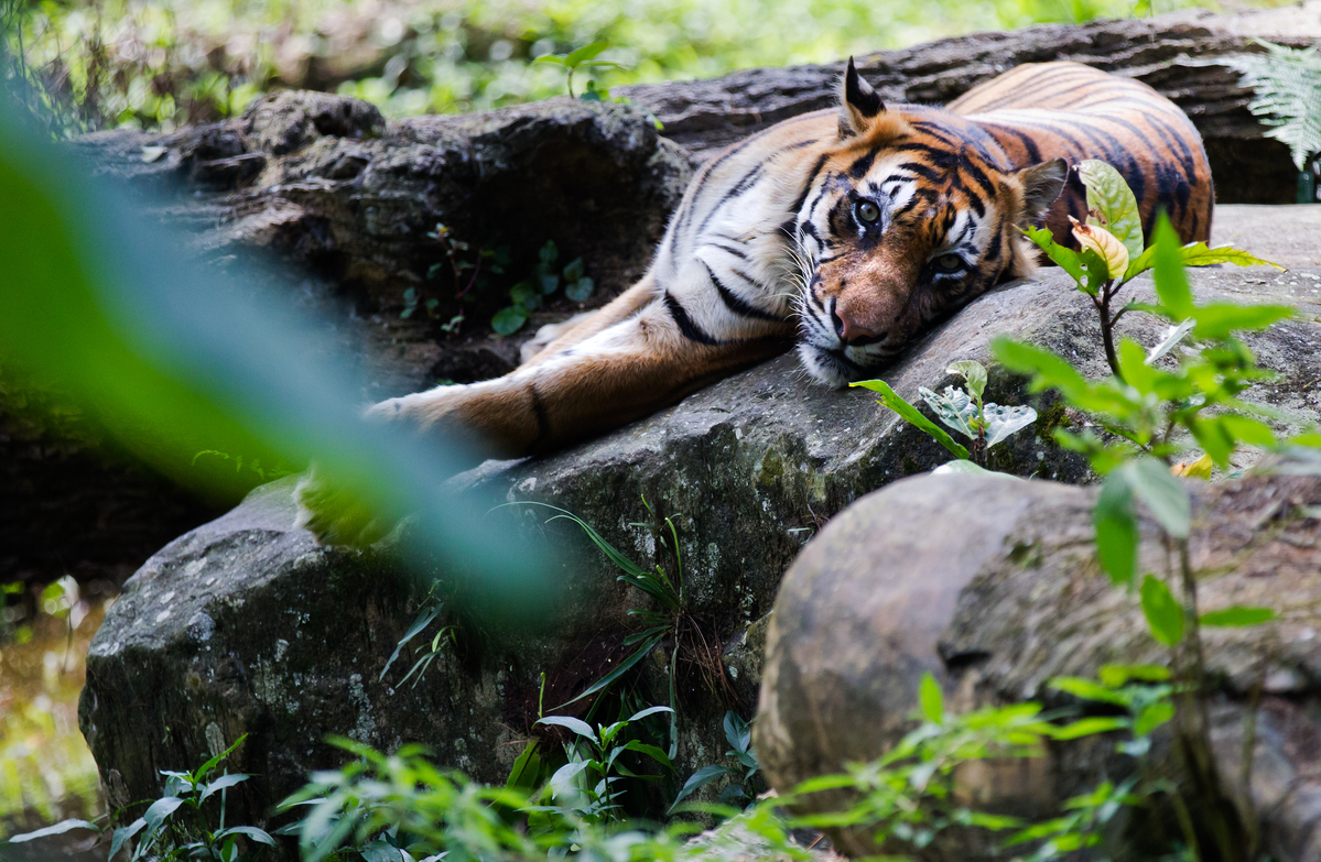 Sumatran Tiger in Indonesia. © Paul Hilton