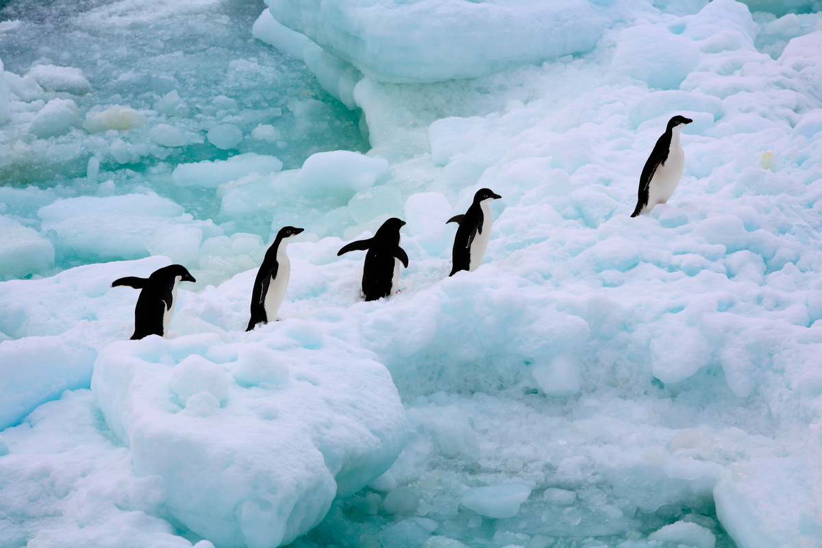 Adeli Penguins in the Southern Ocean. © Jiri Rezac
