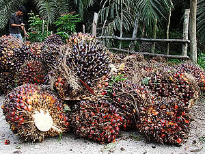 Detail of Palm Oil Fruit in Sumatra. © Gesche Juergens