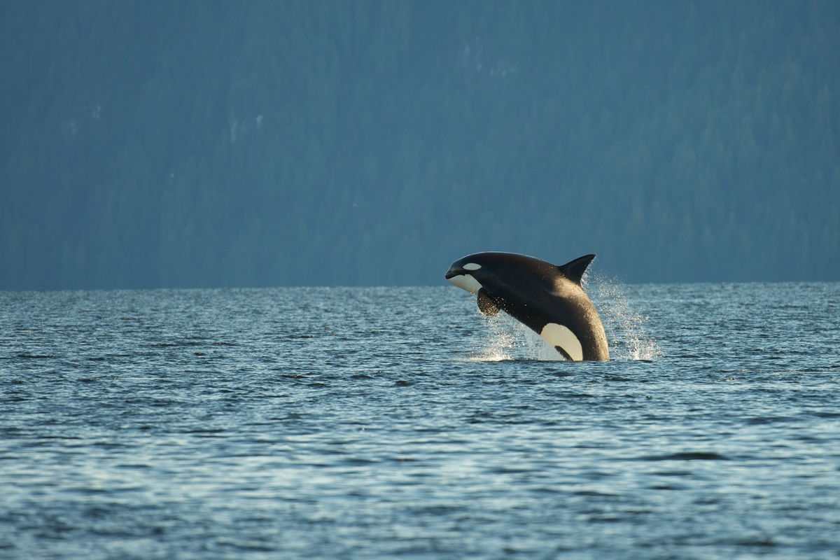 Orca Whale in Great Bear Rainforest in Canada. © Oliver Salge