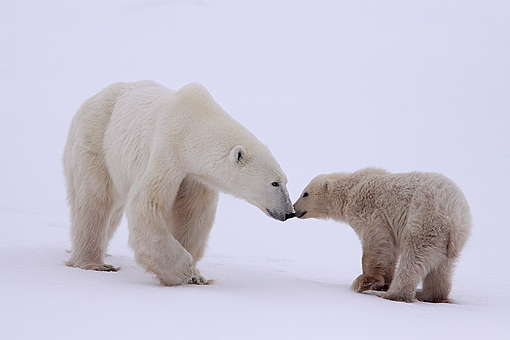 IJsberen kunnen een snelheid van wel 40 kilometer per uur behalen. Hun voetzolen zijn behaard zodat ze niet uitglijden op het gladde ijs en sneeuw-oppervlak.