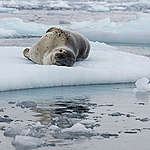 Leopard Seal in the Antarctic. © Christian Åslund