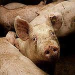 Rabobank investeert moedwillig in klimaatverandering en dierenleed door miljarden in vee-industrie te pompen
