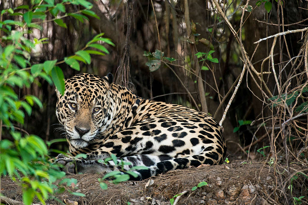 Jaguar (Panthera onca) in the Amazon. © Valdemir Cunha