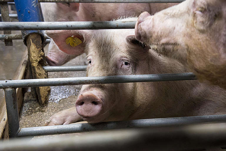Sows and Piglets in Gestation Cages in Thuringia. © Anonymous