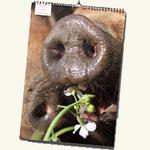 Bestel een kalender van Varkens In Nood