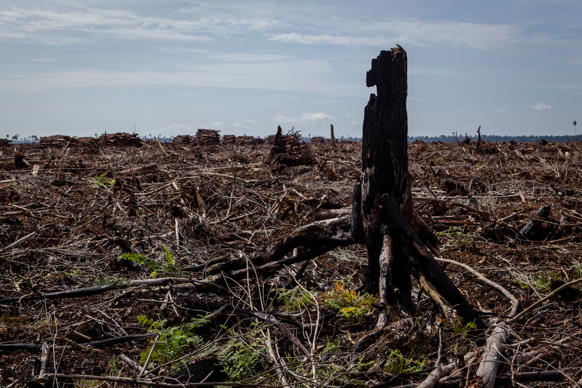 November 2014 – Een verbrande boomstomp te midden van pas gekapt regenwoud. © Ulet Ifansasti / Greenpeace