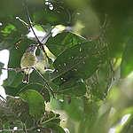 Mooi nieuws uit Indonesië: 5 nieuwe vogelsoorten ontdekt!