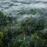 Primary forest near the river Digul in Southern Papua.