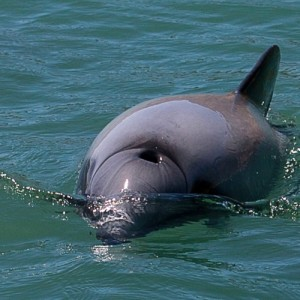 Bringing New Zealand's cherished native dolphins back from the brink