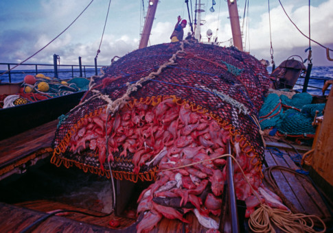 Orange Roughy caught on Trawler