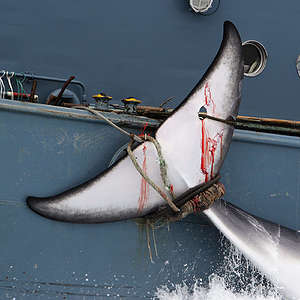 """Greenpeace condemns Japan government's """"sneaky"""" withdrawal from the International Whaling Commission"""