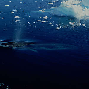 Minke Whale in Antarctica. © Ingrid Visser