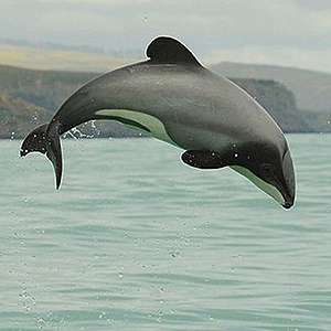 Māui and Hector's dolphin proposals not fit for extinction crisis