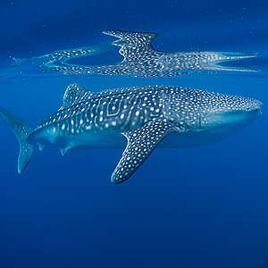 Five jaw-dropping facts about sharks