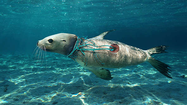 Sea lion caught in fishing line, ghost fishing gear, sea lions, plastic in the ocean, how does plastic end up in the ocean
